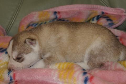 シベリアンハスキーの子犬の写真201304033-2