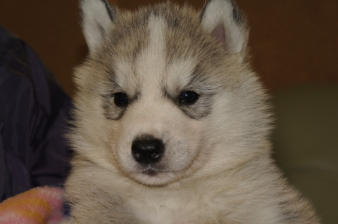 シベリアンハスキーの子犬の写真201303181
