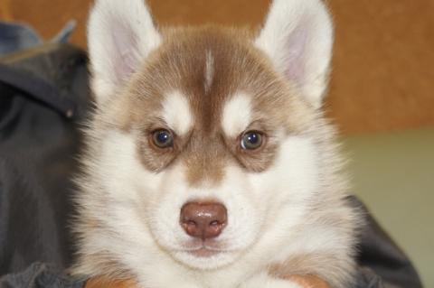 シベリアンハスキーの子犬の写真201303281