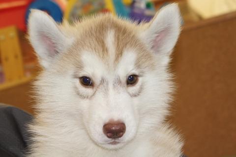シベリアンハスキーの子犬の写真201303182