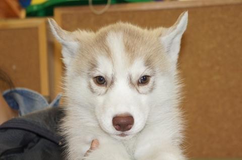 シベリアンハスキーの子犬の写真201303183