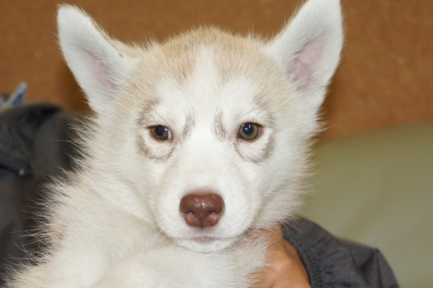 シベリアンハスキーの子犬の写真201303184