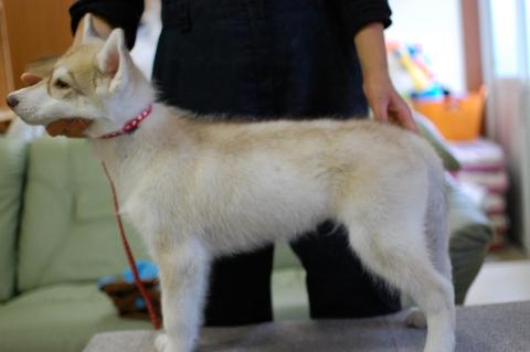 シベリアンハスキーの子犬の写真201303282-2