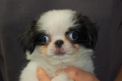 狆の子犬メス2頭目の写真正面から