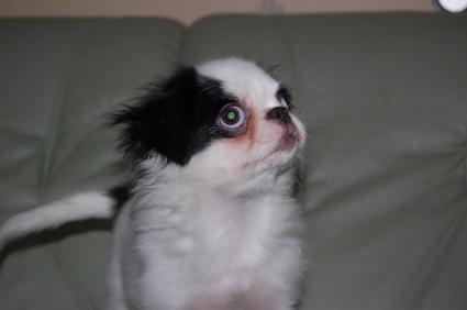 狆の子犬メス1頭目の写真正面から
