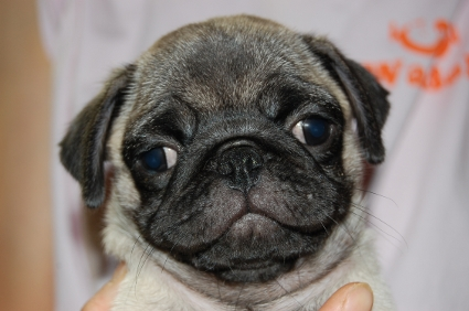 2009年6月4日産まれのパグ子犬の写真