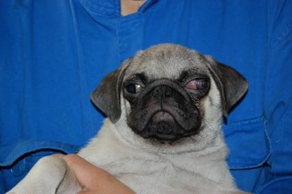 パグの子犬の写真200906042