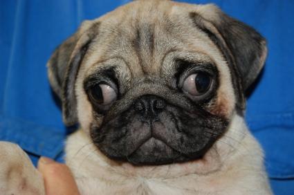 パグの子犬の写真200906041