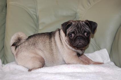 パグの子犬の写真200906043-2