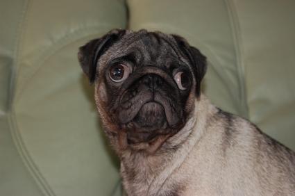 パグの子犬の写真200906043
