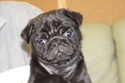 パグの子犬の写真201209141