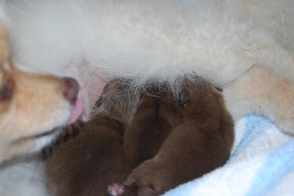 2010年12月20日産まれのポメラニアン子犬の写真