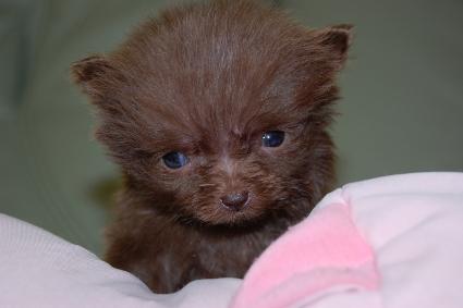 ポメラニアンの子犬の写真201012202