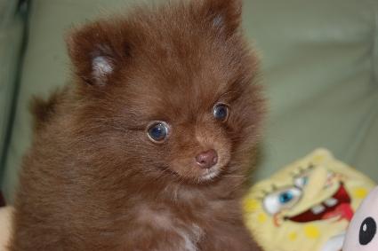 ポメラニアンの子犬の写真201012201