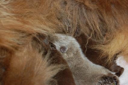 2011年2月21日産まれのポメラニアン子犬の写真