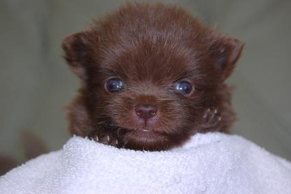 ポメラニアンの子犬の写真201102212