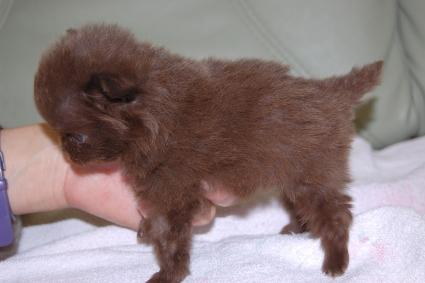 ポメラニアンの子犬の写真201102212-2