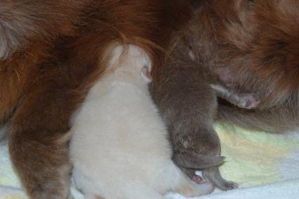 2011年3月14日産まれのポメラニアン子犬の写真