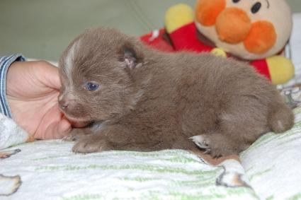 ポメラニアンの子犬の写真201103141-2