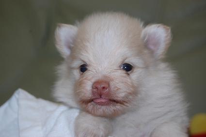 ポメラニアンの子犬の写真201103141