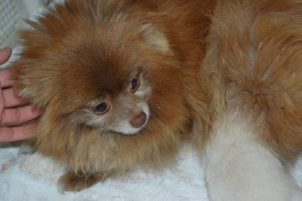 ポメラニアンの子犬の写真2