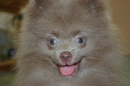 ポメラニアンの子犬の写真201102211