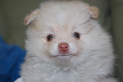 ポメラニアンの子犬の写真201105061