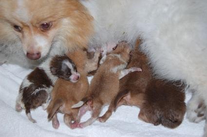 2011年7月20日産まれのポメラニアン子犬の写真