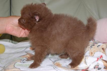 ポメラニアンの子犬の写真201107201-2