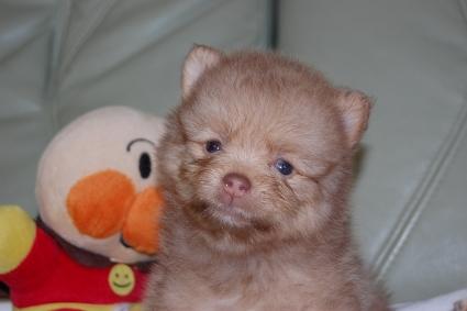 ポメラニアンの子犬の写真201107202