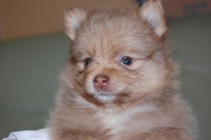 ポメラニアンの子犬の写真201107203