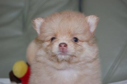 ポメラニアンの子犬の写真201107204