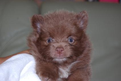 ポメラニアンの子犬の写真201107201