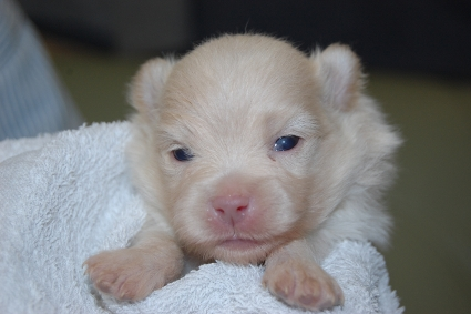 ポメラニアンのの子犬の写真