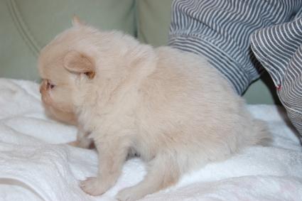 ポメラニアンの子犬の写真201112231-2
