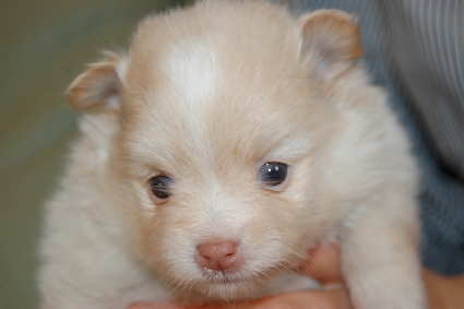 ポメラニアンの子犬の写真201112231