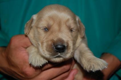 ゴールデンレトリバーの子犬メス2頭目の写真正面から