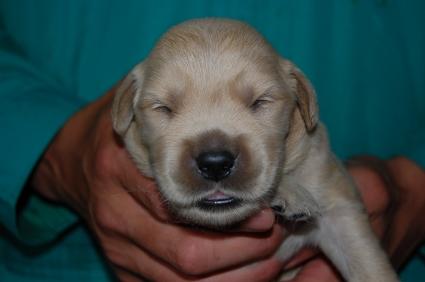 ゴールデンレトリバーの子犬オス2頭目の写真正面から