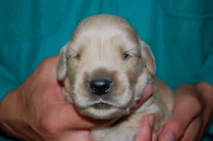 ゴールデンレトリバーの子犬オス3頭目の写真正面から