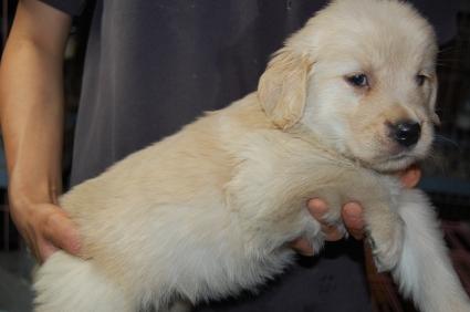 ゴールデンレトリバーの子犬の写真200905235-2