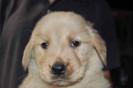 ゴールデンレトリバーの子犬の写真200905236