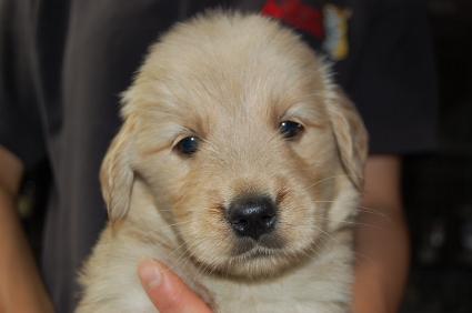ゴールデンレトリバーの子犬の写真200905237