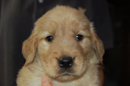 ゴールデンレトリバーの子犬の写真200905238