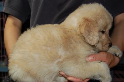 ゴールデンレトリバーの子犬の写真200905231-2