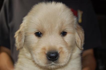 ゴールデンレトリバーの子犬の写真200905232