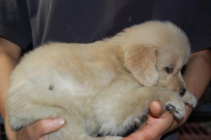ゴールデンレトリバーの子犬の写真200905232-2