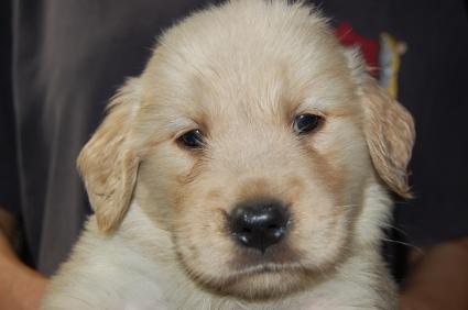 ゴールデンレトリバーの子犬の写真200905233