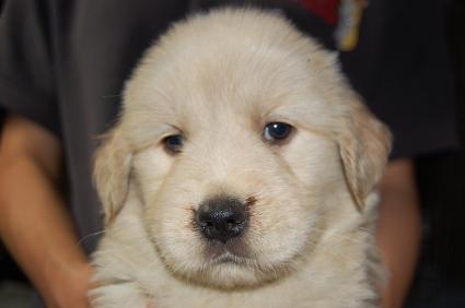 ゴールデンレトリバーの子犬の写真200905234