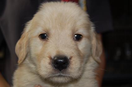ゴールデンレトリバーの子犬の写真200905235