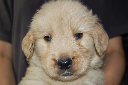 ゴールデンレトリバーの子犬の写真200905231